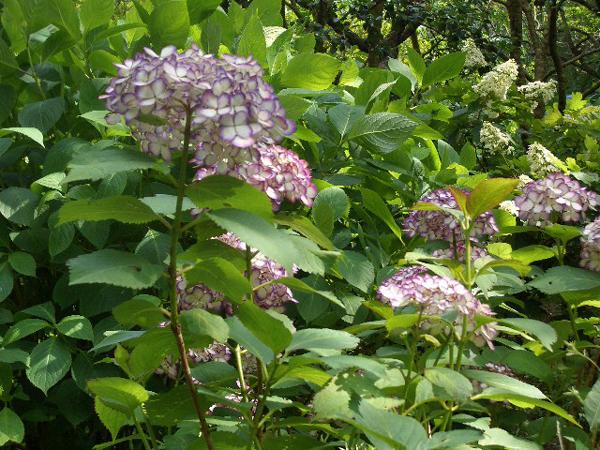 鎌倉散策(紫陽花)