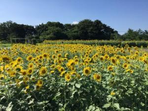 2018年7月31日(火)ひまわり畑見学ツアー
